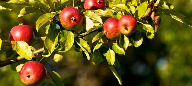 A vos paniers pour cueillir des pommes